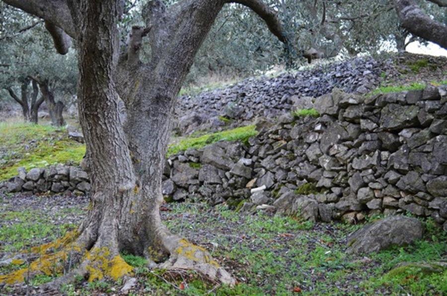 suhi kamen-stene-Olive-Korčula-01